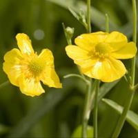 Moeringswaterplanten Grote boterbloem (Ranunculus lingua) moerasplant - 6 stuks