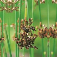 Moeringswaterplanten Mattenbies (Scirpus lacustris) moerasplant - 6 stuks