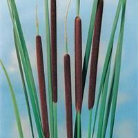 Moeringswaterplanten Kleine lisdodde (Typha angustifolia) moerasplant - 6 stuks