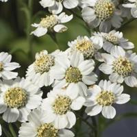 Moeringswaterplanten Wilde bertram (Achillea ptarmica) moerasplant - 6 stuks