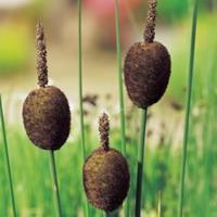 Moeringswaterplanten Dwerglisdodde (Typha minima) moerasplant - 6 stuks