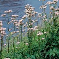 Moeringswaterplanten Echte valeriaan (Valeriana officinalis) moerasplant - 6 stuks