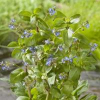Moeringswaterplanten Beekpunge (Veronica beccabunga) moerasplant - 6 stuks