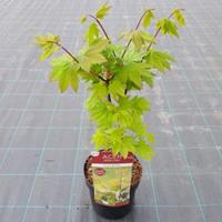 """Plantenwinkel.nl Japanse esdoorn (Acer circinatum """"Burgundy Jewel"""") heester"""