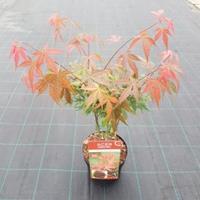 "Plantenwinkel.nl Japanse esdoorn (Acer Palmatum ""Atropurpureum"") - 50-60 cm - 1 stuks"