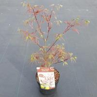 "Plantenwinkel.nl Japanse esdoorn (Acer Palmatum ""Atrolineare"")"
