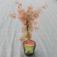 """Plantenwinkel.nl Japanse esdoorn (Acer palmatum """"Crimson Queen"""") heester - 40-50 cm - 1 stuks"""