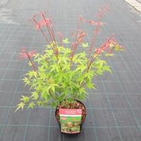 """Plantenwinkel.nl Japanse esdoorn (Acer palmatum """"Phoenix"""") heester - 50-60 cm - 1 stuks"""