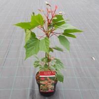 """Plantenwinkel.nl Japanse esdoorn (Acer conspicuum """"Red Flamingo"""") heester"""