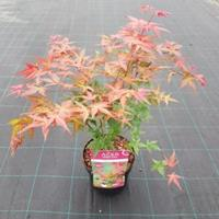"Plantenwinkel.nl Japanse esdoorn (Acer palmatum ""Beni-Maiko"") heester"