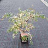 "Plantenwinkel.nl Japanse esdoorn (Acer palmatum ""Beni-Shichi-Henge"") heester"
