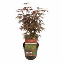 "Plantenwinkel.nl Japanse esdoorn (Acer palmatum ""Bloodgood"") heester - 50-60 cm - 1 stuks"