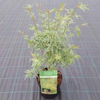 "Plantenwinkel.nl Japanse esdoorn (Acer palmatum ""Butterfly"") heester - 50-60 cm - 1 stuks"