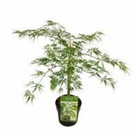 "Plantenwinkel.nl Japanse esdoorn (Acer palmatum ""Dissectum"") heester - 40-50 cm - 1 stuks"
