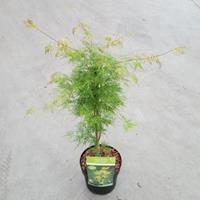 "Plantenwinkel.nl Japanse esdoorn (Acer palmatum ""Emerald Lace"") heester"