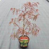 "Plantenwinkel.nl Japanse esdoorn (Acer palmatum ""Enkan"") heester - 40-50 cm - 1 stuks"