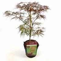 "Plantenwinkel.nl Japanse esdoorn (Acer palmatum ""Garnet"") heester - 50-60 cm - 1 stuks"