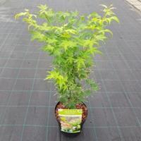 "Plantenwinkel.nl Japanse esdoorn (Acer palmatum ""Going Green"") heester"
