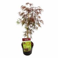 "Plantenwinkel.nl Japanse esdoorn (Acer palmatum ""Inaba Shidare"") heester - 50-60 cm - 1 stuks"