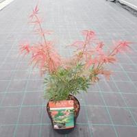 """Plantenwinkel.nl Japanse esdoorn (Acer palmatum """"Jerre Schwartz"""") heester"""