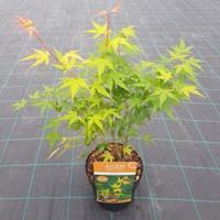 "Plantenwinkel.nl Japanse esdoorn (Acer palmatum ""Katsura"") heester"