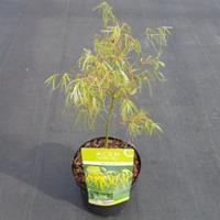 "Plantenwinkel.nl Japanse esdoorn (Acer palmatum ""Koto-no-ito"") heester"