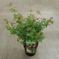 "Japanse esdoorn (Acer palmatum ""Little Princess"") heester - 40-50 cm - 1 stuks"