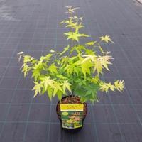 "Plantenwinkel.nl Japanse esdoorn (Acer palmatum ""Orange Dream"") heester - 50-60 cm - 1 stuks"