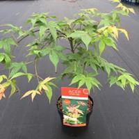 "Plantenwinkel.nl Japanse esdoorn (Acer palmatum ""Osakasuki"") heester - 50-60 cm - 1 stuks"