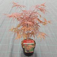 "Plantenwinkel.nl Japanse esdoorn (Acer palmatum ""Peve Dave"") heester"