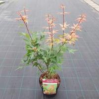 "Plantenwinkel.nl Japanse esdoorn (Acer palmatum ""Red Wine"") heester"