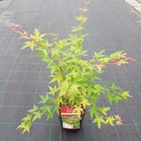 "Plantenwinkel.nl Japanse esdoorn (Acer palmatum ""Sangokaku"") heester - 50-60 cm - 1 stuks"