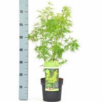 "Plantenwinkel.nl Japanse esdoorn (Acer palmatum ""Seiryu"") heester"