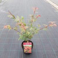 "Plantenwinkel.nl Japanse esdoorn (Acer palmatum ""Shaina"") heester - 50-60 cm - 1 stuks"