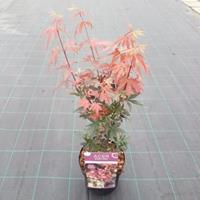 "Plantenwinkel.nl Japanse esdoorn (Acer palmatum ""Skeeter's Broom"") heester"