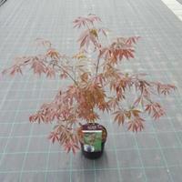 "Plantenwinkel.nl Japanse esdoorn (Acer palmatum ""Sumi-Nagashi"") heester"