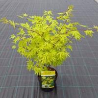 "Plantenwinkel.nl Japanse esdoorn (Acer Palmatum ""Anne Irene"")"