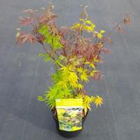 "Plantenwinkel.nl Japanse esdoorn mix (Acer palmatum ""Festival"") heester"