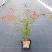 "Plantenwinkel.nl Japanse esdoorn (Acer palmatum ""Firecracker"") heester"