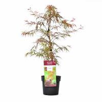 "Plantenwinkel.nl Japanse esdoorn (Acer palmatum ""Garnet Tower"") heester"