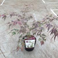 "Plantenwinkel.nl Japanse esdoorn (Acer palmatum ""Manyo-no-sato"") heester"