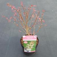 "Plantenwinkel.nl Japanse esdoorn (Acer palmatum ""Marlo"") heester"