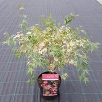 "Plantenwinkel.nl Japanse esdoorn (Acer palmatum ""Taylor"") heester"