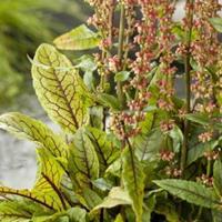 Moeringswaterplanten Bonte waterzuring (Rumex sanguinea) moerasplant - 6 stuks