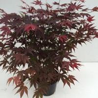 "Plantenwinkel.nl Japanse esdoorn (Acer Palmatum ""Atropurpureum"") - 40-50 cm - 1 stuks"