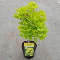 """Plantenwinkel.nl Japanse esdoorn (Acer shirasawanum """"Aureum"""") heester - 25-30 cm - 1 stuks"""