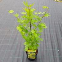 "Plantenwinkel.nl Japanse esdoorn (Acer shirasawanum ""Jordan"") heester - 50-60 cm - 1 stuks"