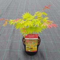 "Japanse esdoorn (Acer shirasawanum ""Moonrise"") heester"