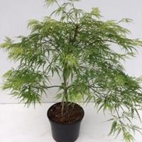 "Plantenwinkel.nl Japanse esdoorn (Acer palmatum ""Dissectum"") heester - 30-40 cm - 1 stuks"