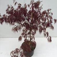 "Plantenwinkel.nl Japanse esdoorn (Acer palmatum ""Garnet"") heester - 30-40 cm - 1 stuks"